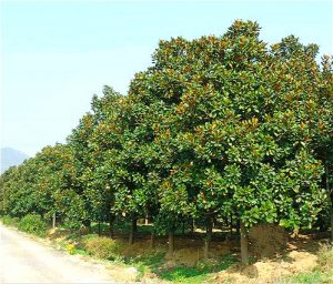 广玉兰行道树的培育