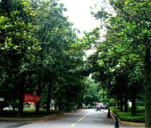 【广玉兰】树苗成活率就是高—买广玉兰就到南京运丰苗圃场