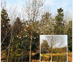 【白玉兰】2021年疫情给白玉兰树价格带来的影响